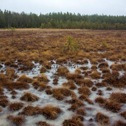 Tussocks on the frozen bog