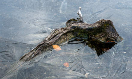 Tree root in a frozen puddle