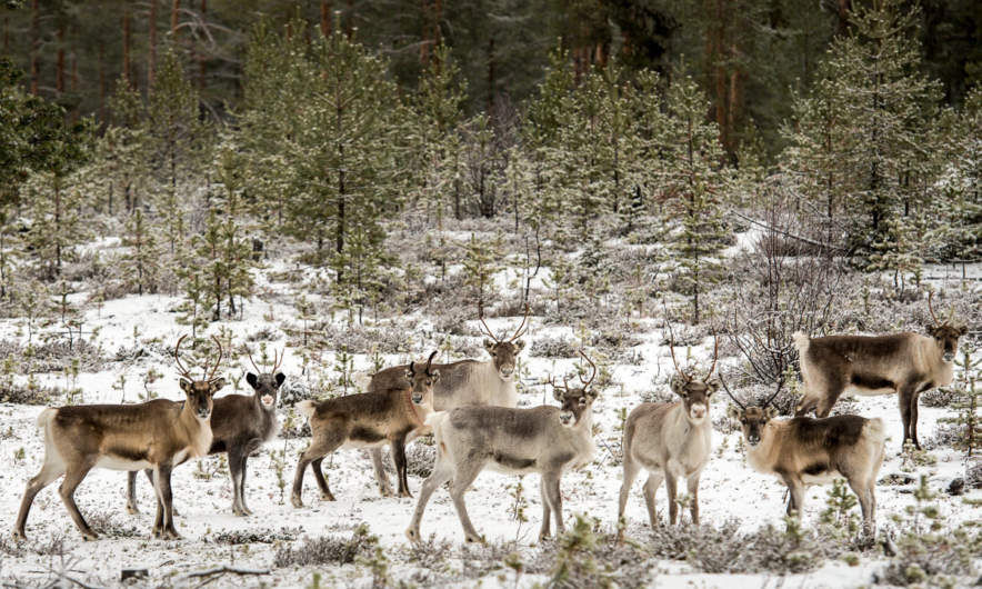 Reindeers watching