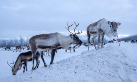 Not all reindeers are shy