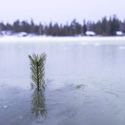 Flooded pine