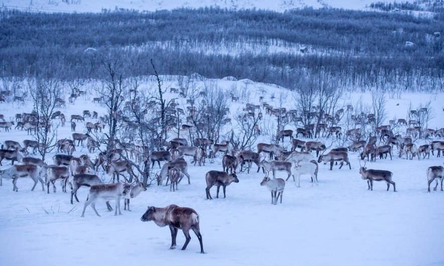Many, many reindeers