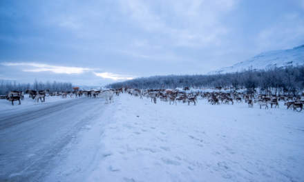 Reindeers blocking the road