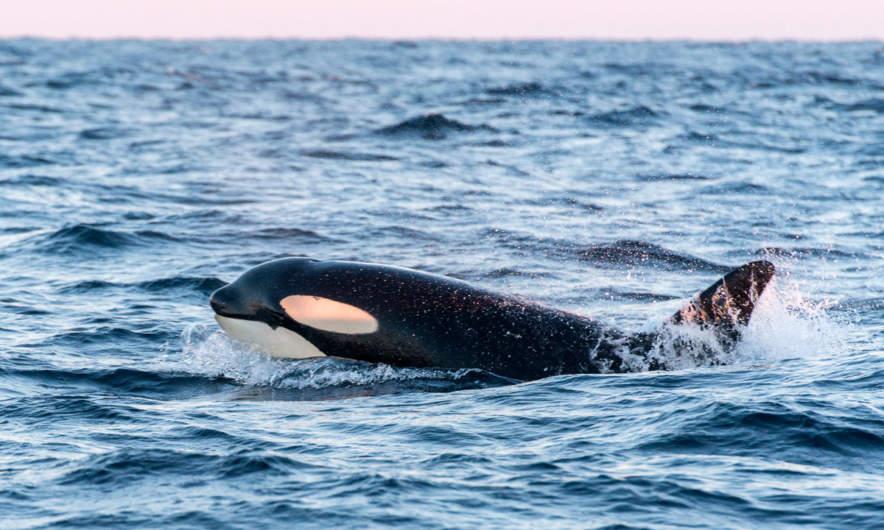 Orca (or killer whale)