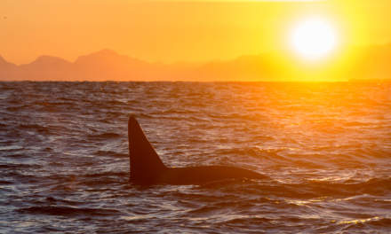 Orca against the sun