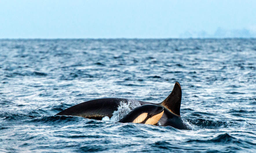 Orca with calf