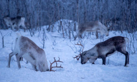 Reindeers digging after food