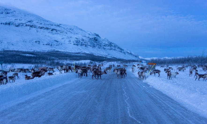 Reindeers crossing