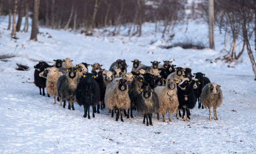 Sheep on langbakken (photo was taken on the way back)