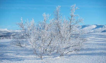 Hoar frost covered birches