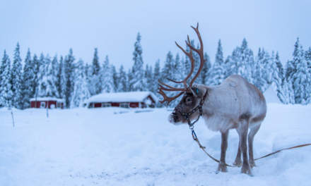 A reindeer resting after a sleigh trip