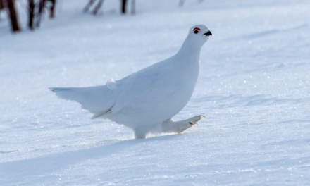 A snow grouse