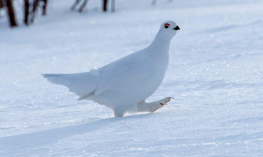 A snow grouse