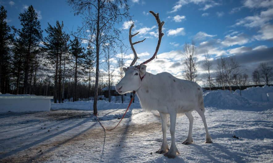 A tame reindeer posing