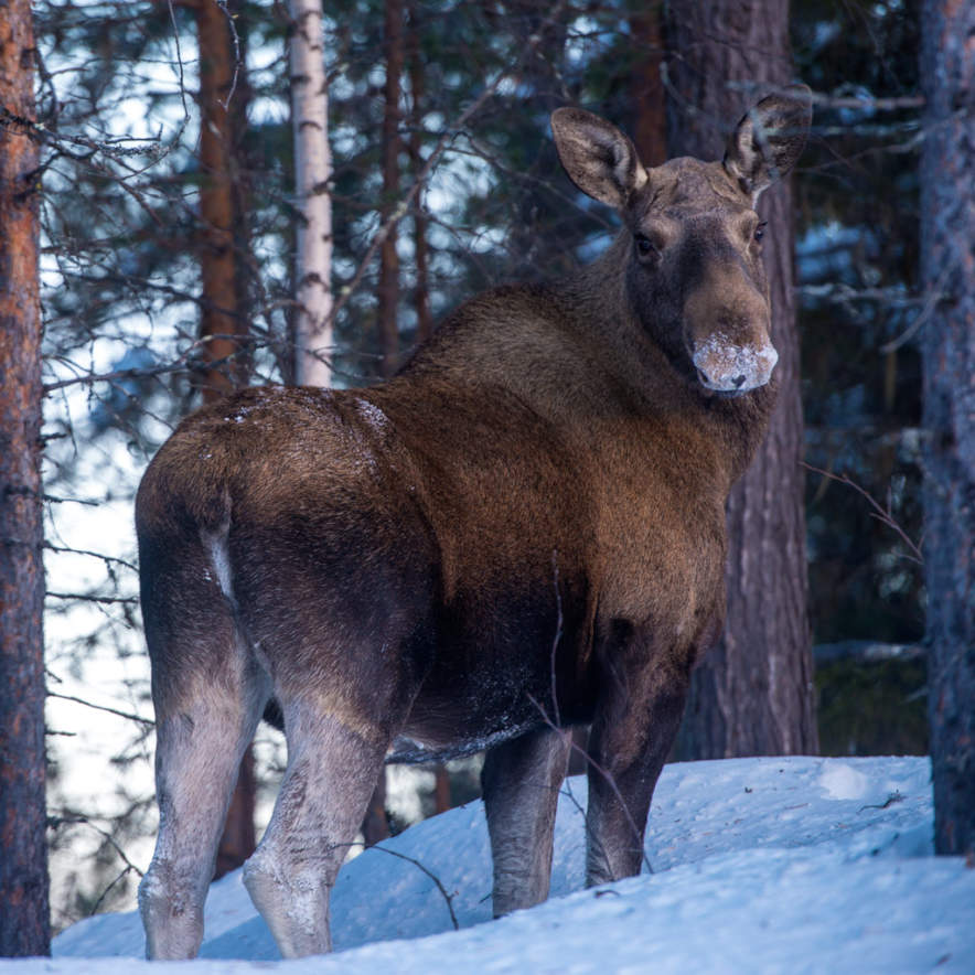 The first moose photo