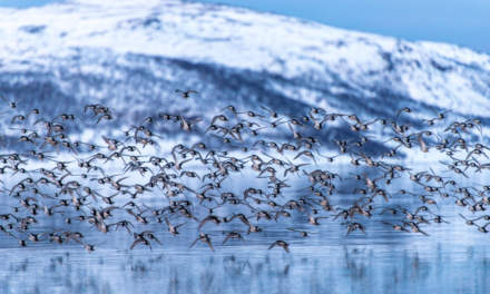 Purple Sandpipers: flying away