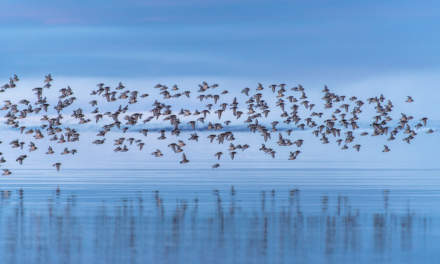 Purple Sandpipers: wheeling