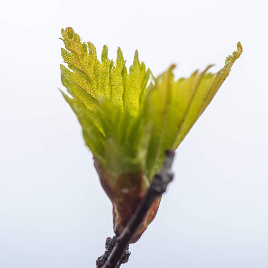 A birch leaf bud opens