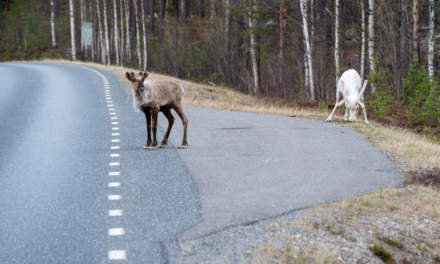 Reindeers crossing or not crossing?
