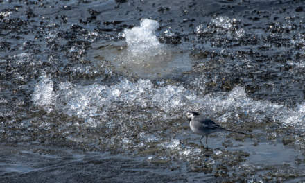 A wagtail wandering on the ice bits