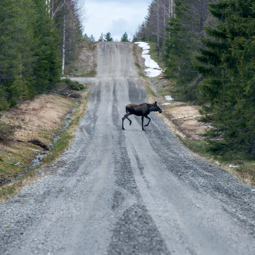 A moose crossing