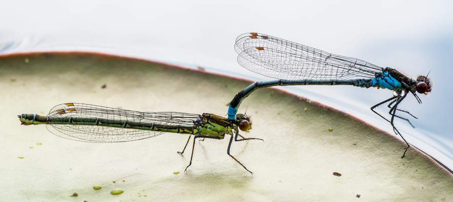 Two dragonflies pairing