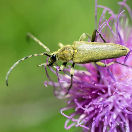 Lepturobosca virens / Dichtbehaarter Halsbock / Grön blombock