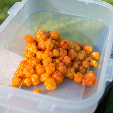Picked cloudberries