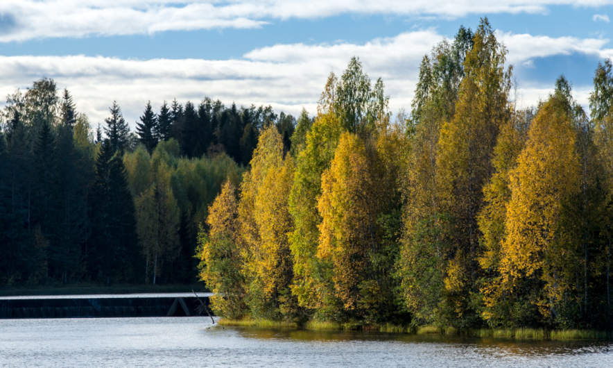 Autumn trees on the waterfront of the river Skellefteälven