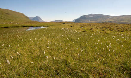 A boggy field of cottongrass