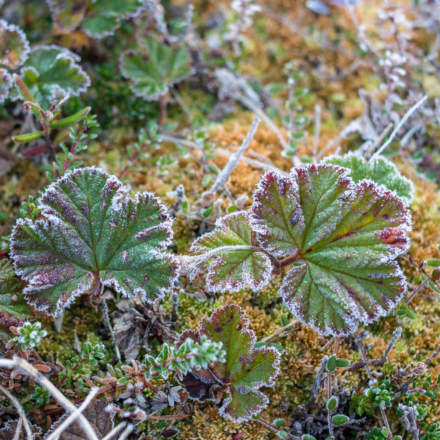 Hoar frost round cloudberry leaves