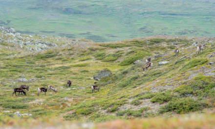 Reindeers near Alisjávri
