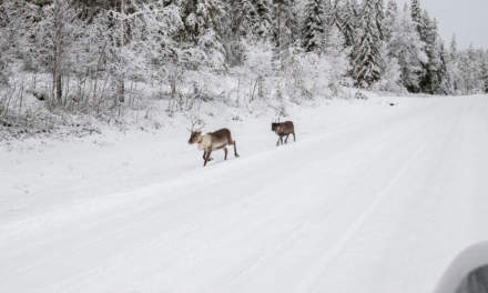 Reindeers passing in single file