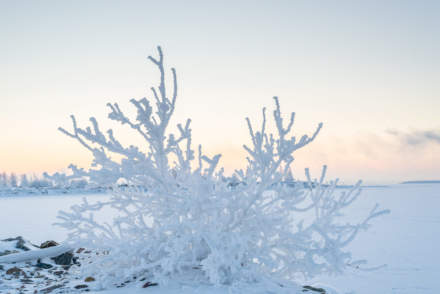 Frost covered bush