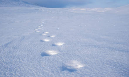 Wolverine tracks on the Tjäktjapass