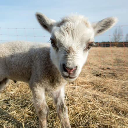 Lamb portrait I