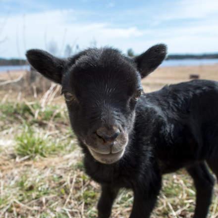Lamb portrait II