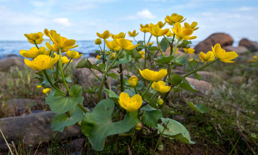 A marsh-marigold on the rocky coast of the Baltic Sea