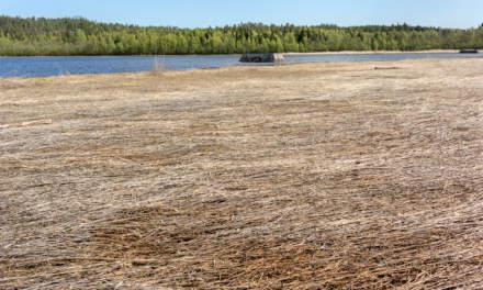Reeds round Gustavsgrönnan