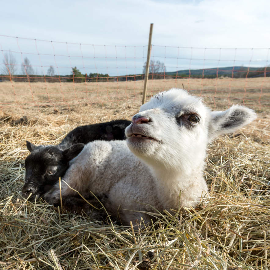 Two little lambs in the sun