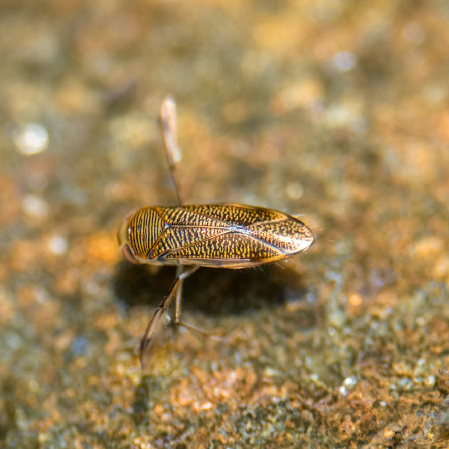 Water boatman · Ruderwanze · buksimmare