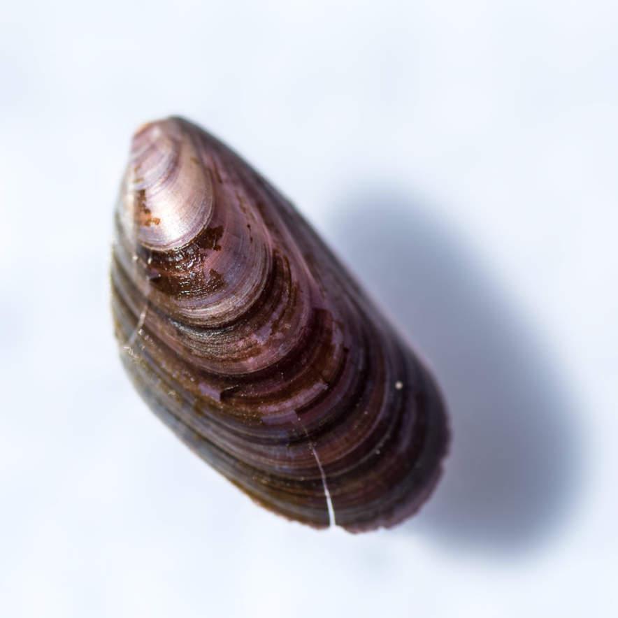 Mussel · Miesmuschel · Blåmussla