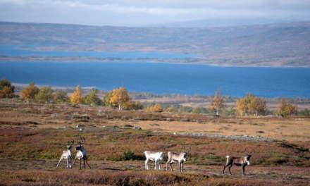 5 cautious reindeers