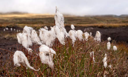 Soaked cotton grass