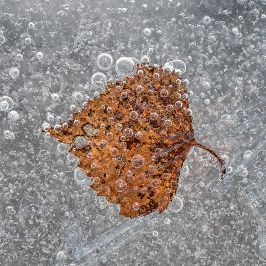 Frozen birch leave on the Baltic Sea