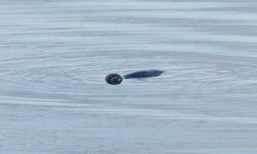 A seal in kirkenes