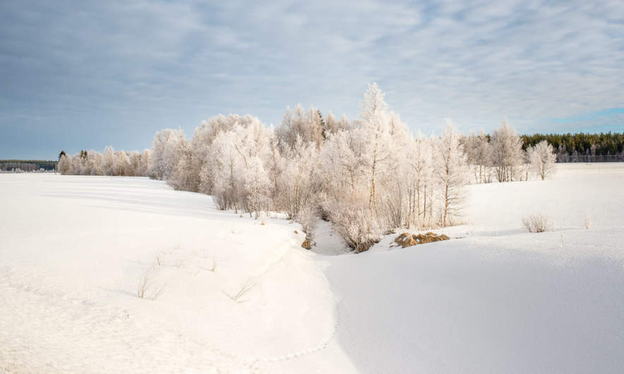 Birch trees covered with white frost