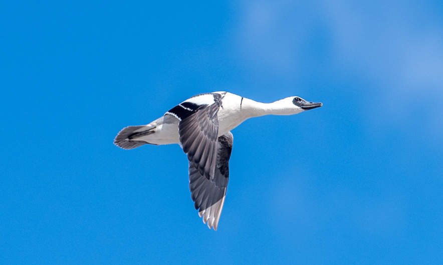 A flying smew (Mergellus albellus)