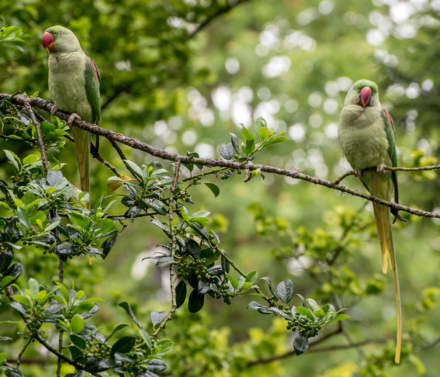 Two rose-ringed parakeets
