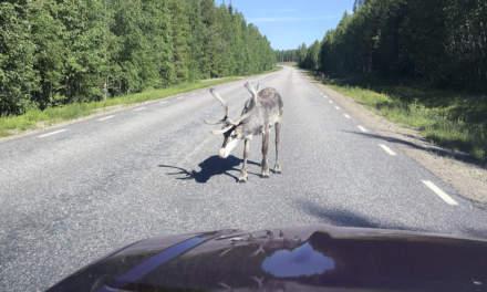 Reindeer approaching